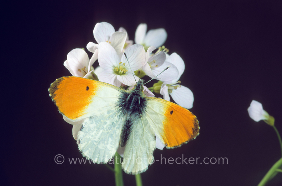 Aurorafalter, Männchen beim Blütenbesuch, Nektarsuche auf Wiesen-Schaumkraut, Aurora-Falter, Anthocharis cardamines, orange-tip, male