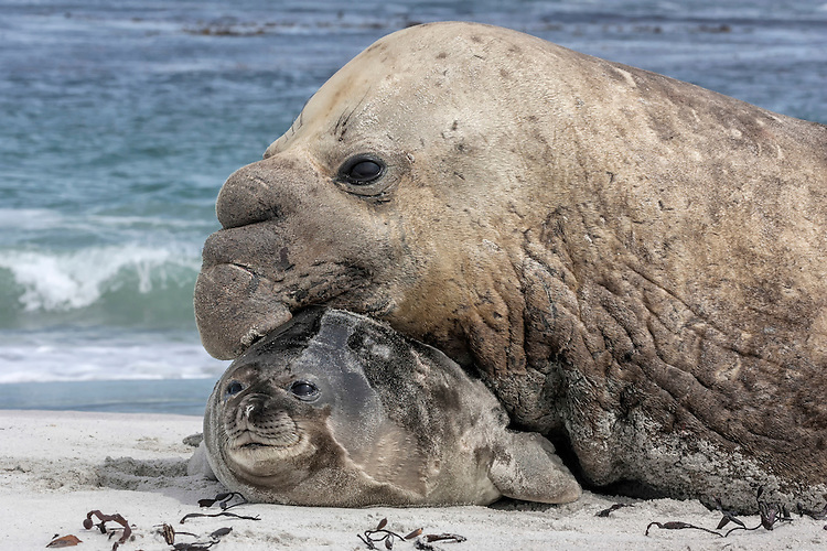Southern Elephant Seal bull - Mirounga leonina - with captured pup