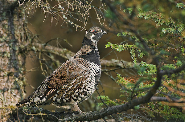 Spruce Grouse male (Dendragapus canadensis) in conifer tree, late September, Algonquin Provincial Park, Ontario, Canada.