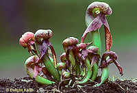 CA14-002a  Cobra Lily - insect eating plant - Darlingtonia californica