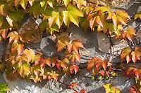 Dreilappige Jungfernrebe, Jungfern-Rebe, Wilder Wein, Herbstverfärbung, Herbst, Parthenocissus tricuspidata, Parthenocissus veitchii, Japanese Creeper, Japanese Ivy