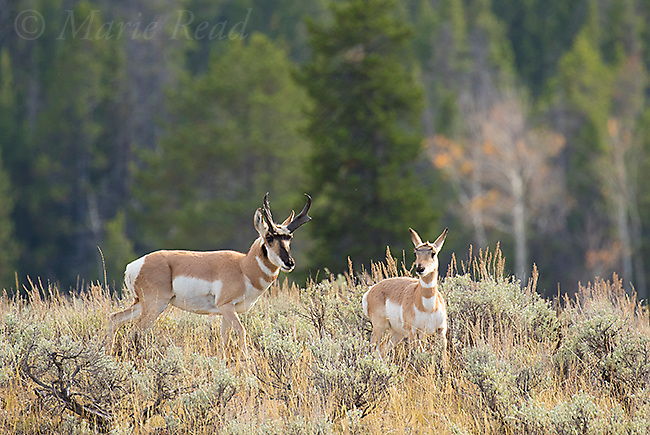 Pronghorn (Antilocapra americana), male and female, autumn, Grand Teton National Park, Wyoming, USA