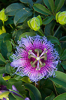 Passion flower blooms  Diamantina National Park, Brazil  Bahia Region   Passifloria sp.