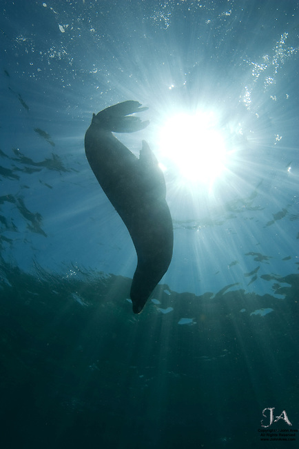 Underwater shot of a California Sea Lion diving with the sun behind at Los Islotes, La Paz, Mexico