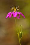 Wild geranium (Geranium caespitosum)
