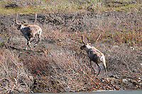 Two caribou run up the bank along the Kongakut River, in Alaska's Arctic National Wildlife Refuge.