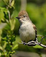 Ash-throated Flycatcher image taken near Killeen, TX