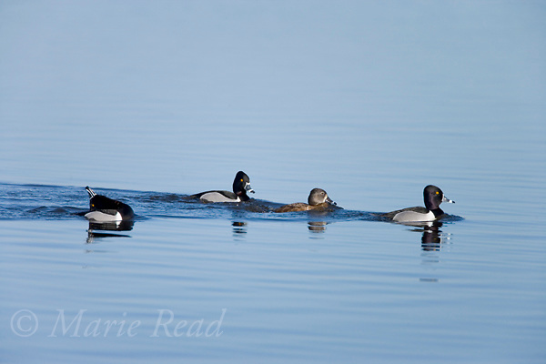 Ring-necked Ducks (Aythya collaris), courting group of males and female, with one male (far left) performing courtship display, Montezuma National Wildlife Refuge, New York, USA