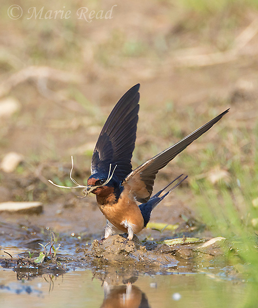 Barn Swallow (Hirundo rustica) gathering mud as nest material, Caroline, New York, USA