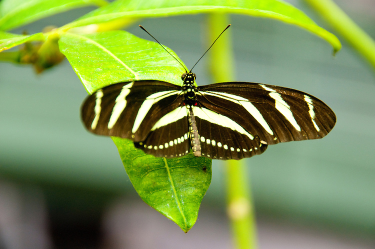 San Francisco: Butterfly in tropical rain forest exhibit at California Academy of Sciences.  Photo copyright Lee Foster. Photo # casanf104451