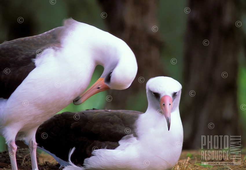 Laysan Albatross or Moli or Diomedea immutabilis at Kilauea Point National Wildlife Refuge
