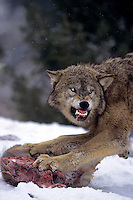 69492394 a captive gray wolf  canis lupus stands in a snowbank defending a deer carcass by snarling at an intruder and baring its fangs in central montana