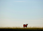 A calf stand alone in a field in Wakulla County south of Tallahassee, Florida.    (Mark Wallheiser/TallahasseeStock.com)