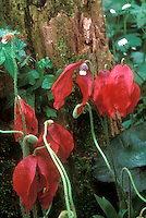 Meconopsis punicea red flowers