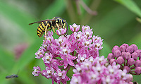 Common Aerial Yellowjacket; Dolichovespula arenaria; pollinating Swamp Milkweed; Asclepias incarnata; PA, French Creek State Park;
