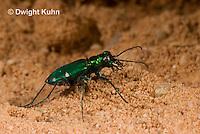 1C35-503z   Six-spotted Green Tiger Beetle - Cirindela sexguttata