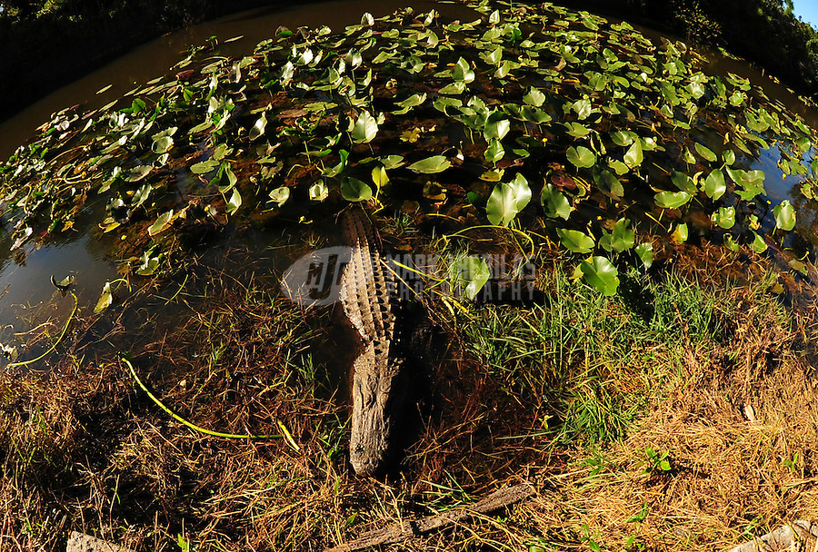Alligator wildlife gator swamp florida west palm beach water reptile nature lilly pads