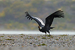 Andean Condor (Vultur gryphus) male taking flight during rainfall, Torres del Paine National Park, Patagonia, Chile