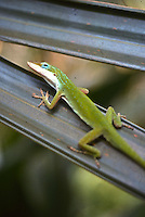 A green anole on a palm frond, Daytona Beach, FL . (Photo by Brian Cleary / www.bcpix.com)