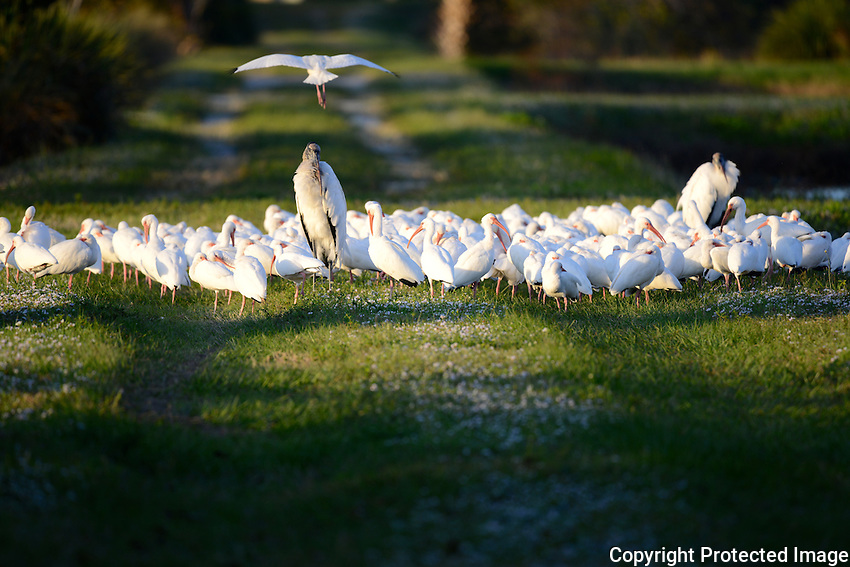 """As sundown approaches a group of Ibises, and Wood Storks """"settle in"""" for the night at  Wakodahatchee Wetlands located in Delray Beach, Florida."""