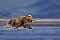 Paula runs. Kodiak grizzly bear (Ursus arctos middendorffi), Hallo Bay