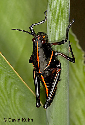 "0721-07mm  Eastern Lubber Grasshopper - Romalea guttata ""Nymph"" © David Kuhn/Dwight Kuhn Photography"