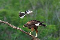 541950097 a wild harris hawk parabuteo unicinctus perches on a dead snag while harrassed by a northern mockingbird mimus polyglottos on santa clara ranch starr county texas