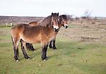 Exmoor ponies grazing near North Hill, Minehead, Somerset, England