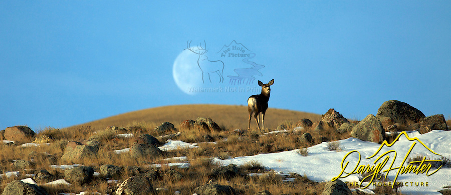 Mule deer, doe, full moon, Whiskey Mountain, Dubois, Wyoming