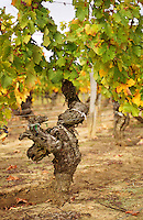 An old vine (pied de vigne) in the vineyard of Château Haut-Chaigneau, Lalande-de-Pomerol, near Neac, Bordeaux Gironde Aquitaine France Europe