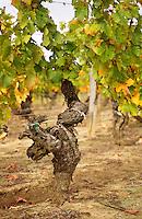 An old vine (pied de vigne) in the vineyard of Château Haut-Chaigneau, Lalande-de-Pomerol, near Neac, Bordeaux Gironde Aquitaine France Europe