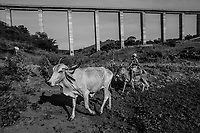 PAULISTANA, BRAZIL - FEBRARY 04, 2014: A young vaquiero, or cowboy, herds cows to pasture below the towering 150ft high pillars of an abandoned bridge destined to be part of the Transnordestina railway project cutting through farm lands on February 04, 2014 near Paulistana, Piaui province, in Northern Eastern Brazil. The Transnordestina, a 1,400-mile railroad project which a steel company began building in 2006 in northeast Brazil, offers a view into the pitfalls plaguing projects big and small across Brazil. Intended to be finished in 2010 at a cost of about $1.8 billion, the railroad is now expected to cost at least $3.2 billion, with ample financing from state banks, and be completed sometime around 2016. Long stretches along the routes where freight trains were already supposed to be running now stand completely deserted. Wiry vaqueiros, or cowboys, herd cattle in the shadow of futuristic railroad bridges with massive concrete pillars towering 150 feet above parched valleys. <br /> <br /> Daniel Berehulak for The New York Times