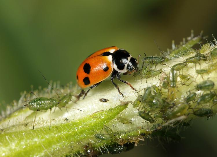 Adonis Ladybird -  Adonia variegata eating aphid.