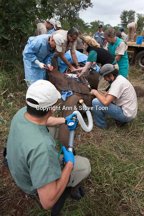 Vasectomy of wild elephant, Loxodonta africana, with Dr Jeff Zuba, foreground, senior associate veterinarian of the San Diego Zoologicial Society and the Elephant Poulation Management Program team. Dr Zuba developed the anaesthetic techniques for the procedure. Private game reserve in Limpopo, South Africa
