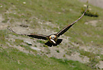 Lammergeier or Bearded Vulture in flight with goats bone in it´s beak. Ordesa y Monte Perdido national park, Aragon,Pyrenees, Spain.