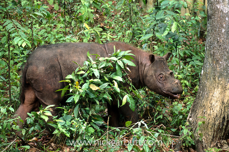 Sumatran or Asian Two-horned Rhinoceros (Dicerorhinus sumatrensis) from isolated rainforest areas in Borneo (Tabin & Danum Valley) and Sumatra (Way Kambas & Gunung Leuser). Photographed in captivity at Sepilok Rehabilitation Centre, Sabah, Borneo.