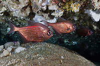 RS0971-D. Common bullseye (Pempheris multiradiata), usually found in groups in caves and under shadowy ledges, grows to nearly 28cm but often smaller. Tasmania, Australia, Pacific Ocean.<br /> Photo Copyright &copy; Brandon Cole. All rights reserved worldwide.  www.brandoncole.com