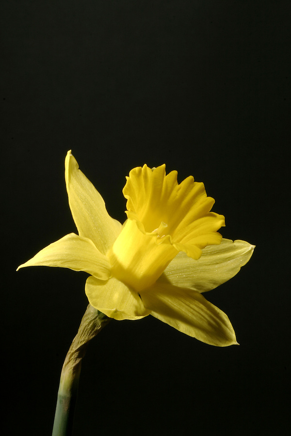 Yellow daffodil against black background
