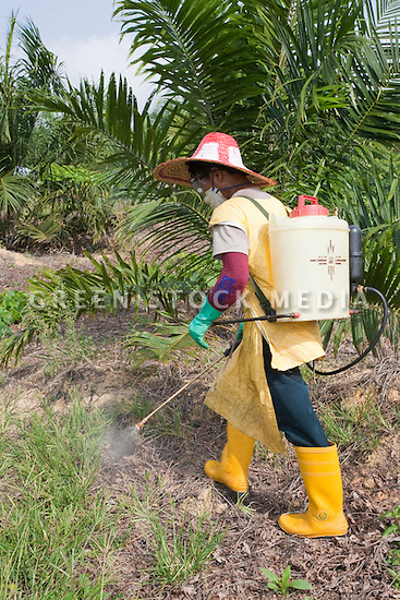 A palm plantation worker spraying glyphosate herbicide around young Palm trees at Sindora Plantation. The plantation is owned by Kulim and it is green certified by the Roundtable on Sustainable Palm Oil (RSPO). Johor, Malaysia