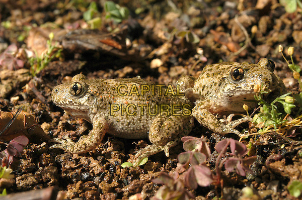 TOAD.Italy.fauna amphibian animal animal nature wildlife alytes abstetricans brown frog  .CAP/CAV.©Luca Cavallari/Capital Pictures.