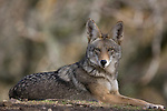 Coyote, Henry W. Coe State Park, California