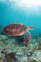 Green sea turtle, Chelonia mydas, swimming at Apo Island, Philippines, Indo-Pacific Ocean