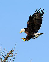 Bald Eagle at the Llano, Tx nest area approaches a landing spot.  February 19, 2007
