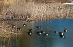 WOODBURY,  CT-031219JS07- Geese enjoy a sunny day on the pond in Hollow Park in Woodbury. Town officials are looking into changes to the pond as they consider putting in grass where the beach is located and make it a picnic area. <br /> Jim Shannon Republican American