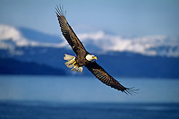 Bald Eagle soaring over coastal area, Alaska.