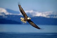 Bald Eagle soaring over coastal area, Alaska.
