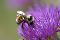Bunble bee feeding on thistle flower. Hall's Canyon National Recreational Area, Oregon