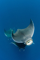 lesser devil ray, Mobula hypostoma, aka Atlantic mobula ray, or Atlantic devil ray, an endanged species, Isla Mujeres, Mexico, Caribben Sea, Atlantic Ocean