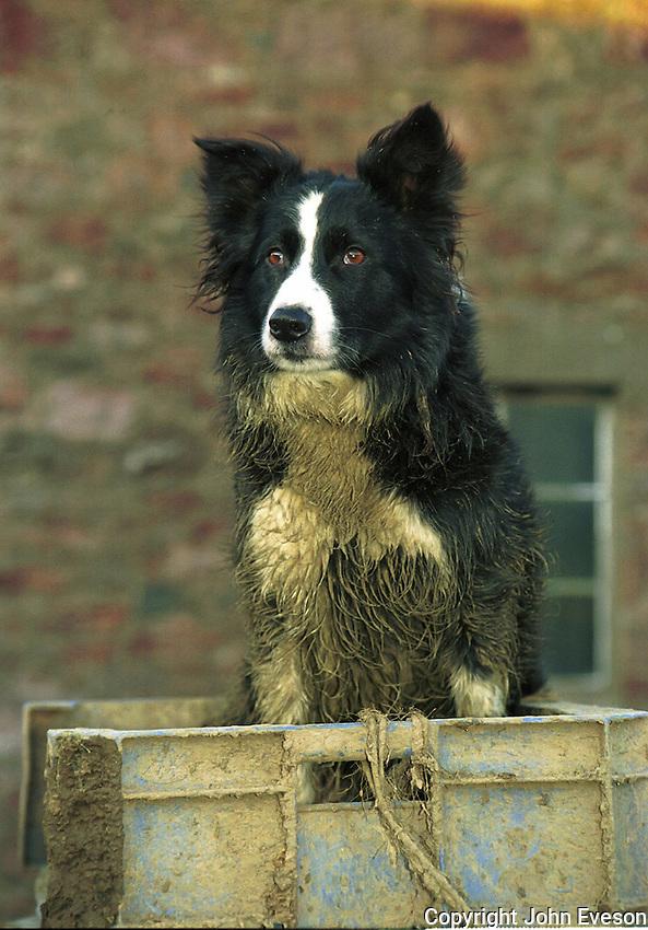 Sheepdog, Scotland.