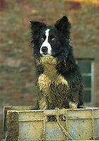 Sheepdog, Scotland.